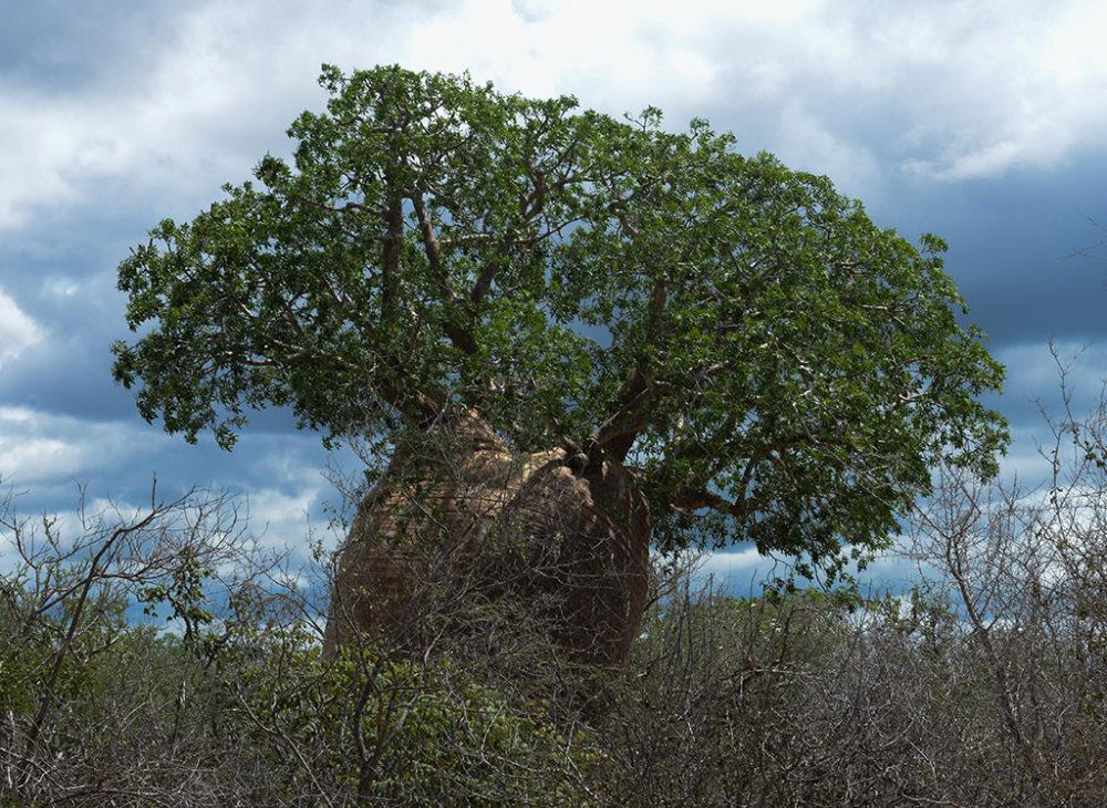 Baobab tree near Tulear