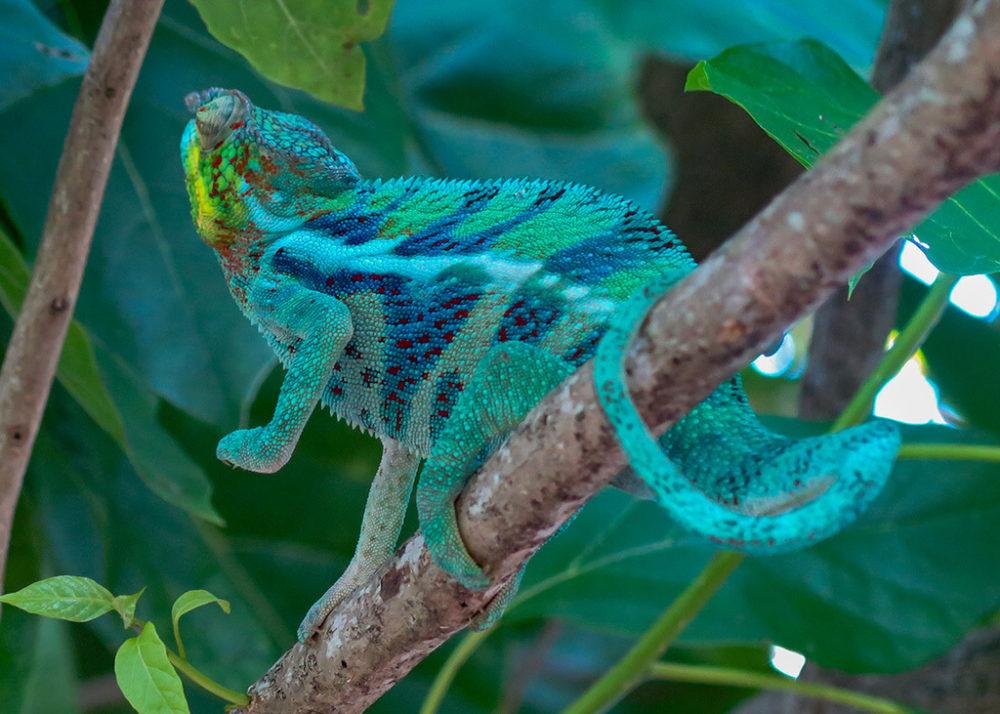 The chameleon responds.