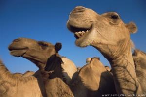 Somali_Camel3