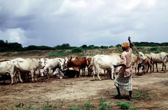 Somali cows