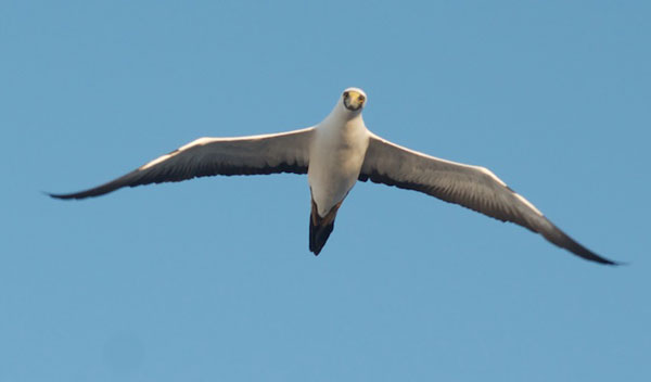 A booby leads the way...