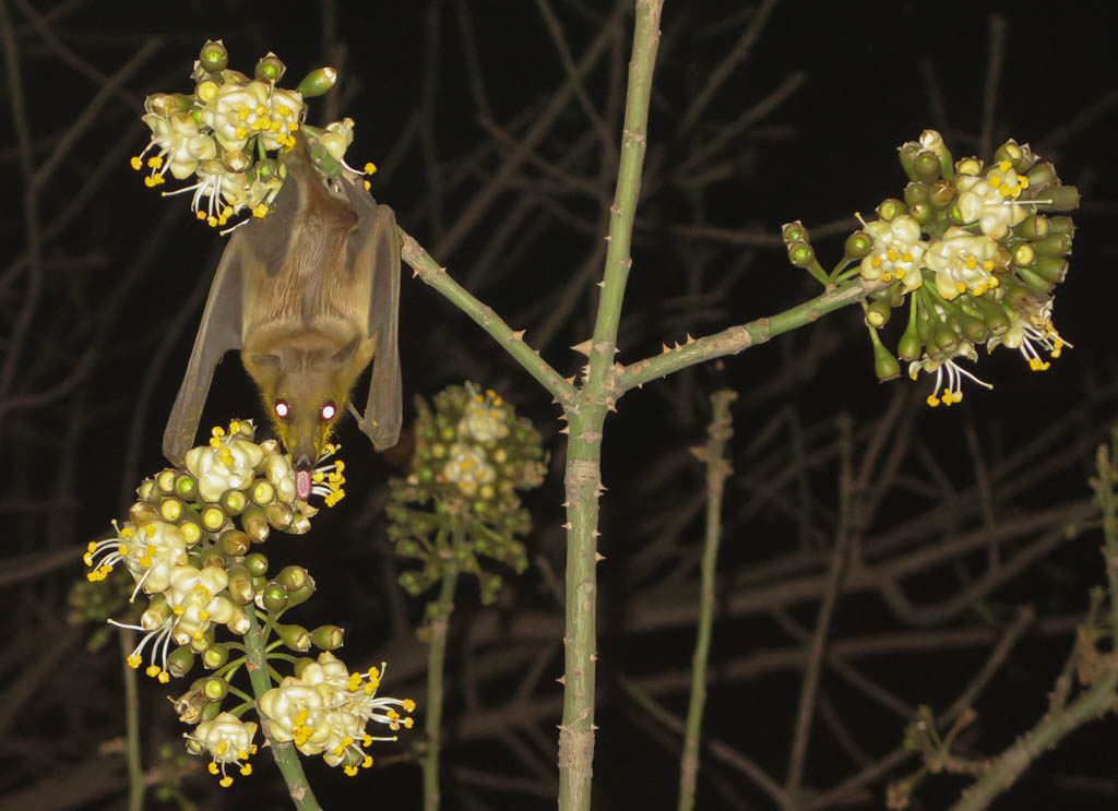 Fruit bat at the French Center for Malian Culture