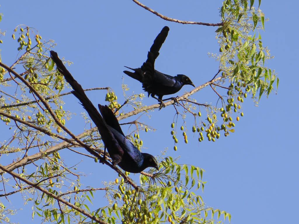 Blackbirds, heard in the program!